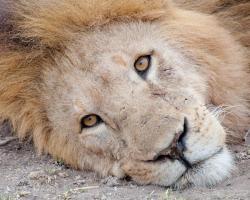 Stewart Parr 'Lion in the Kenya Serengeti Plains Resting' Photo Print