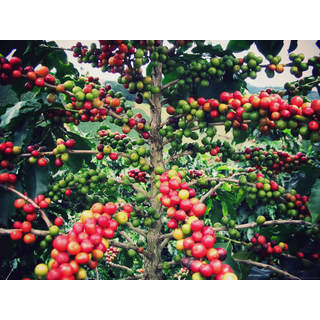 Hawaiian Kona Coffee Starter Plant