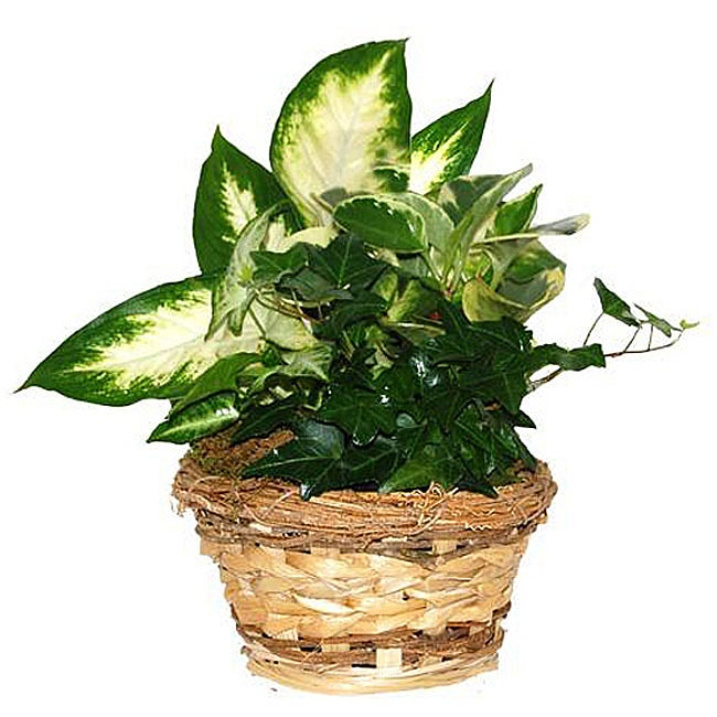 Buy plants gifts delivery. - Four Fresh Green Potted Plants in Natural Woven Straw Gift Basket