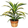 Dracaena Warneckii Lemon Lime Plant